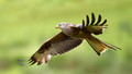 Red Kite in Flight 3