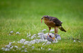 Sparrowhawk with Kill 4