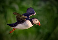 Hovering Puffin