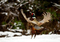 Pheasant Male in the Snow 2