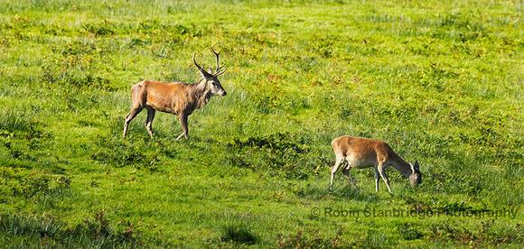 Red Deer Stag & Hind
