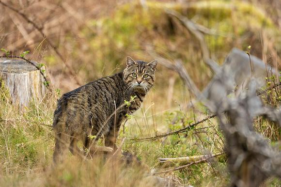Wild Cat?