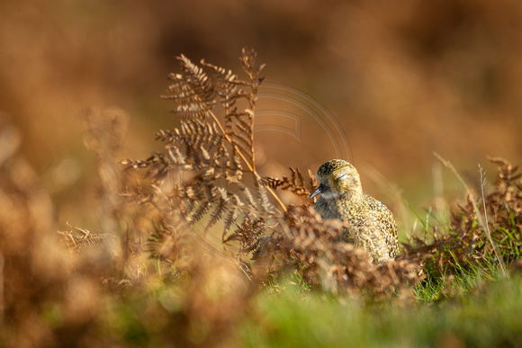 Golden Plover asleep