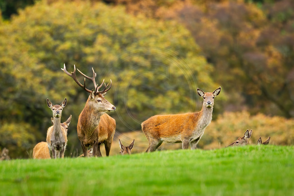 Red Deer Exmoor