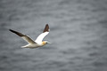 Gannet in Flight 3