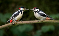 Feeding Time Great Spotted Woodpeckers