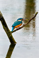 Kingfisher Fishing in the Rain