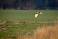 Barn Owl in Flight 3