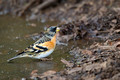 Brambling Male