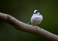 Long-tailed Tit 3