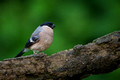 Bullfinch Female