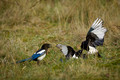Magpies Fighting