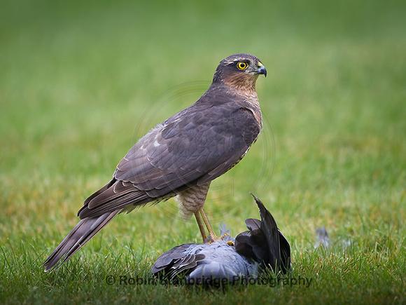 Sparrowhawk with Kill