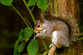 Grey Squirrel with Nut